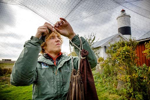 Volontärer hjälper till med att fånga in fåglarna för ringmärkning och registrering.